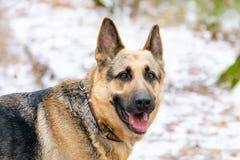 Wschód - europejska baca Młody energiczny pies chodzi w lesie zdjęcia royalty free