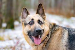 Wschód - europejska baca Młody energiczny straszący pies chodzi w lesie fotografia stock