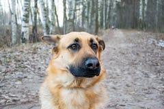 Wschód - europejska baca Młody energiczny straszący pies chodzi w lesie obraz stock