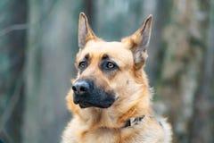 Wschód - europejska baca Młody energiczny straszący pies chodzi w lesie zdjęcie royalty free