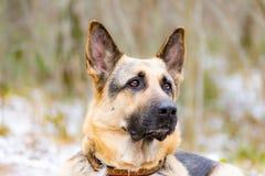 Wschód - europejska baca Młody energiczny straszący pies chodzi w lesie fotografia royalty free