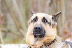 Wschód - europejska baca Młody energiczny straszący pies chodzi w lesie zdjęcia royalty free