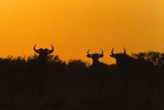 wschód słońca błękitny wildebeest Zdjęcia Royalty Free