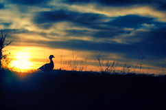 Wschód słońca kaczka Zdjęcie Royalty Free