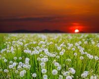 Wschód słońca na dandelion polu Zdjęcia Stock