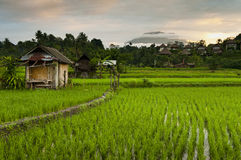 Wschód słońca nad Bali Rice polami. Fotografia Stock