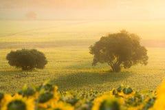 Wschód słońca nad słonecznika polem Obraz Stock