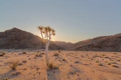 Wschód słońca przez kołczanu drzewa Fotografia Royalty Free