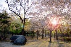 Wschód słońca wśród Sakura drzew w parku Zdjęcia Stock