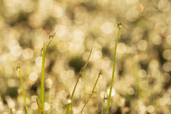 Wschód słońca w rosa kroplach na traw ostrzach Obraz Stock