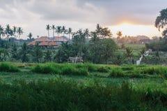 Wschód słońca w ryżowych polach Ubud w Bali, Indonezja fotografia stock