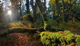 Wschód słońca w starym bukowym lesie Fotografia Royalty Free