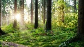 Wschód słońca w zielonym lesie obraz stock