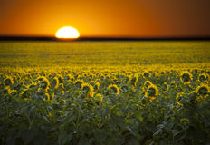 Wschód słońca nad polem słoneczniki. Zdjęcia Royalty Free