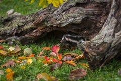 Wschodni Łaciaści Skunksowi Spilogale putorius zerknięcia Spod Za beli jesieni obraz stock
