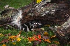 Wschodni Łaciasty Skunksowy Spilogale putorius Obraca Wokoło Pod beli jesienią obraz stock
