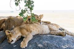 Wschodni Afrykańscy lwów lisiątka, lwicy i Fotografia Stock