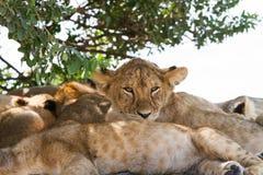 Wschodni Afrykański lwów lisiątek portret Zdjęcia Stock