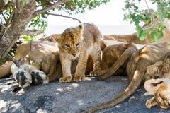 Wschodni Afrykański lwów lisiątek portret Obrazy Stock