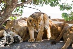 Wschodni Afrykański lwów lisiątek portret Obraz Stock