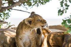 Wschodni Afrykański lwów lisiątek portret Zdjęcia Royalty Free