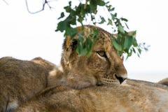 Wschodni Afrykański lwów lisiątek portret Zdjęcie Stock