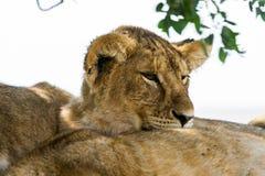 Wschodni Afrykański lwów lisiątek portret Zdjęcie Royalty Free