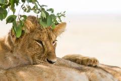 Wschodni Afrykański lwów lisiątek portret Fotografia Royalty Free
