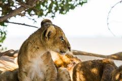 Wschodni Afrykański lwa lisiątka portret Zdjęcia Royalty Free