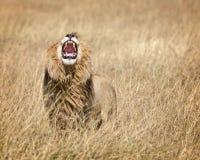 Wschodni Afrykański lew Obraz Stock