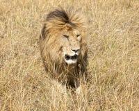 Wschodni Afrykański lew (Panthera Leo nubica) Obrazy Royalty Free