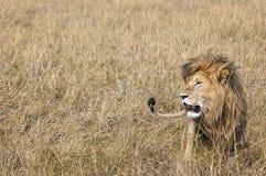 Wschodni Afrykański lew (Panthera Leo nubica) Obraz Stock
