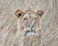 Wschodni Afrykański lew (Panthera Leo nubica) Zdjęcie Stock
