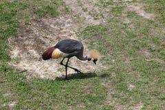 Wschodni afrykanin Koronujący żuraw zdjęcia royalty free