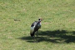 Wschodni afrykanin Koronujący żuraw zdjęcie royalty free