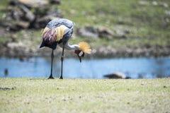 Wschodni afrykanin koronujący żuraw, ptasi upierzenie, kolorowy, piórka, wildli Zdjęcia Royalty Free