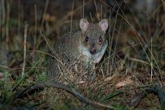 Wschodni Bettong kangura utrzymanie w Australia - Bettongia gaimardi prawdziwy mały wallaby - zdjęcia royalty free