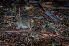 Wschodni Bettong kangura utrzymanie w Australia - Bettongia gaimardi prawdziwy mały wallaby - obrazy stock