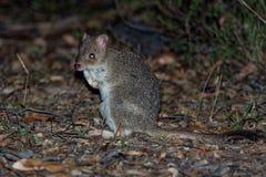 Wschodni Bettong kangura utrzymanie w Australia - Bettongia gaimardi prawdziwy mały wallaby - obraz royalty free