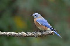 Wschodni Bluebird 2 Obraz Stock
