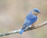 Wschodni Bluebird 3 Zdjęcia Stock
