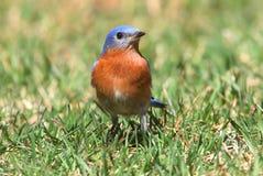 Wschodni Bluebird na gazonie Fotografia Royalty Free