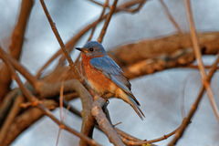 Wschodni Bluebird w gałąź Zdjęcia Stock