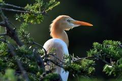 Wschodni Caattle Egret fotografia stock