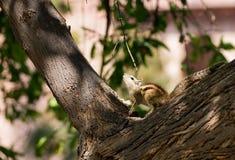 Wschodni Chipmunk pozujący na drzewie Zdjęcie Stock