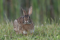 wschodni cottontail królik Obraz Royalty Free