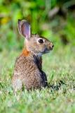 wschodni cottontail królik Zdjęcia Royalty Free