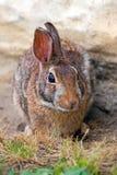 wschodni cottontail królik Zdjęcie Stock