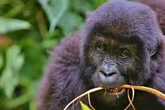Wschodni goryl w pięknie afrykańska dżungla Obrazy Stock