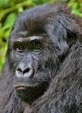 Wschodni goryl w pięknie afrykańska dżungla Zdjęcie Royalty Free